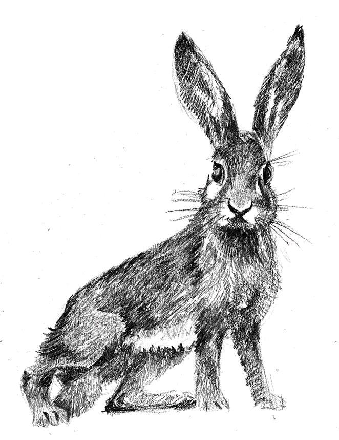 Картинки в карандаше зайцев